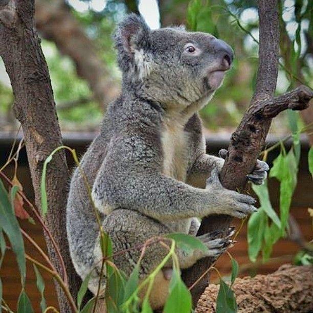 Koala at Currumbin Wildlife Sanctuary #CurrumbinWildlifeSanctuary #Koala #Australia by matt_steel87 http://ift.tt/1X9mXhV
