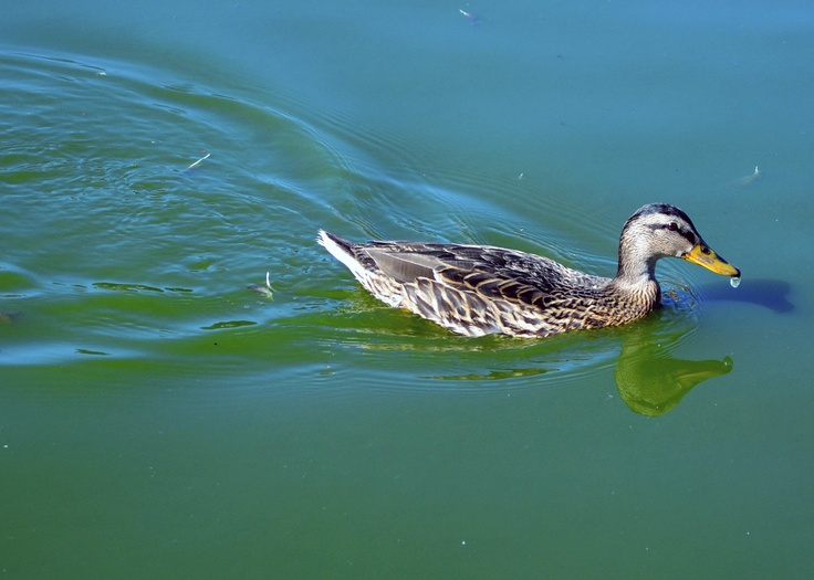 Gresford Duck