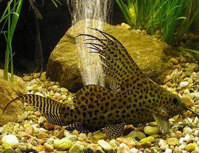 Synodontis Eupterus Catfish Arizona Aquatic Gardens Aquarium Catfish Fish Aquatic Plants