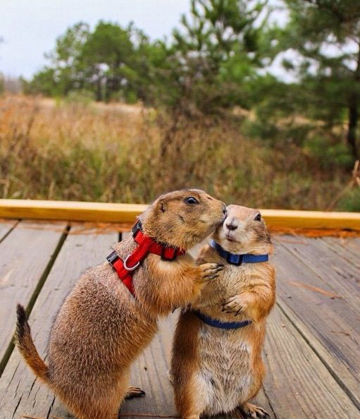 Swarley and Bing, famous prairie dogs