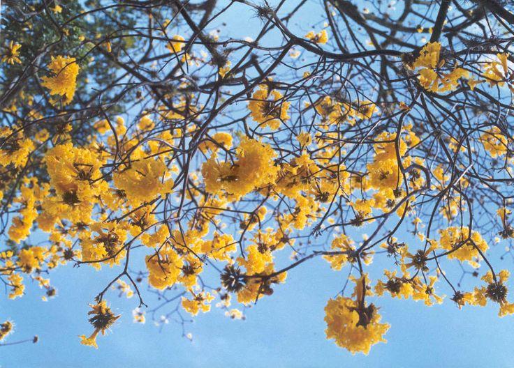 Guayacán florecido