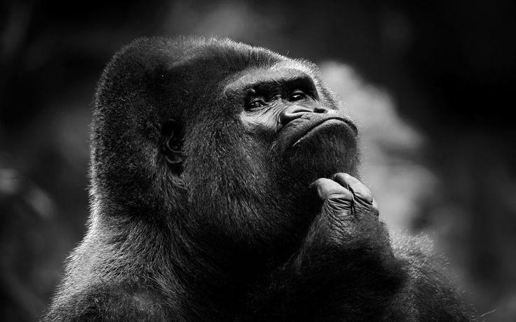 Gorilla HD Wallpapers 1  #GorillaHDWallpapers #Gorilla #animals #wallpapers