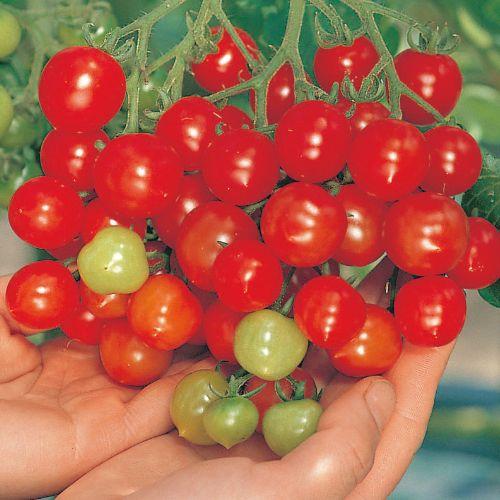 トマト ミニトマトの育て方 栽培方法 失敗しない栽培レッスン 野菜