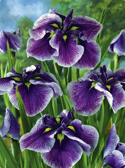 "Japanese Iris - - Iris ensata ""Crystal Halo""- - Learn how to create a garden with Iris blooms all season long at http://gardendesignforliving.com/?p=1150"