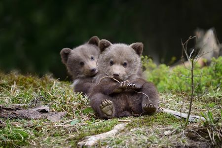 Bear cub Photo by Volodymyr Burdiak — National Geographic Your Shot