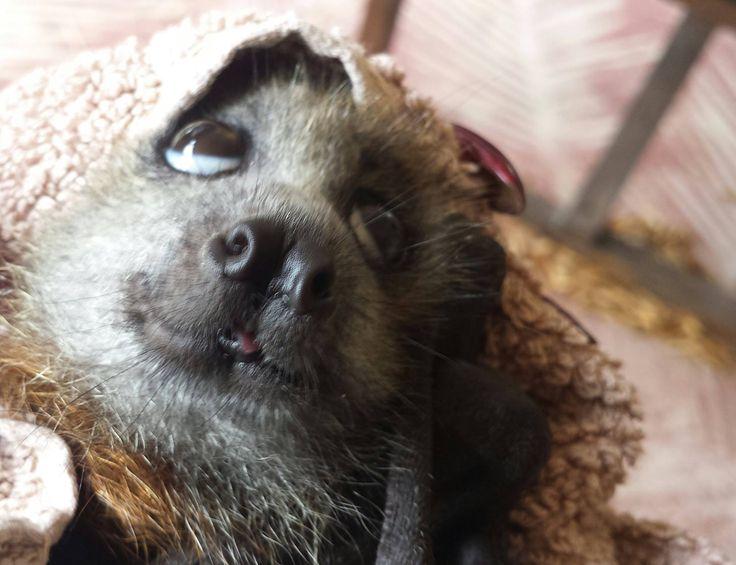 Flying Fox Baby or Fruit Bat Baby in Rehab