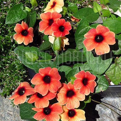 image de Thunbergia alata Arizona Dark Red