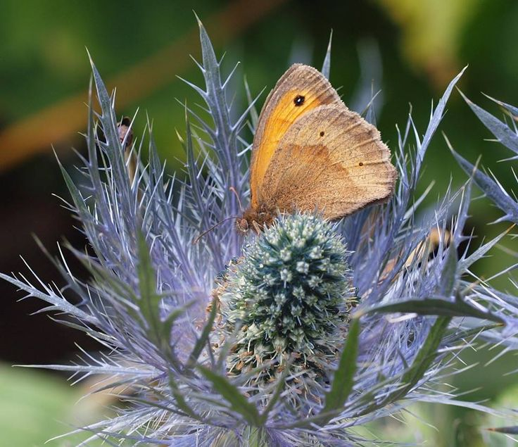 Volunteer photographer, Jill, captured this meadow brown butterfly on the Gunby Eryngium (sea holly) this week.  Visit us to see what wildlife and interesting plants you can spot at Gunby Hall and Gardens.