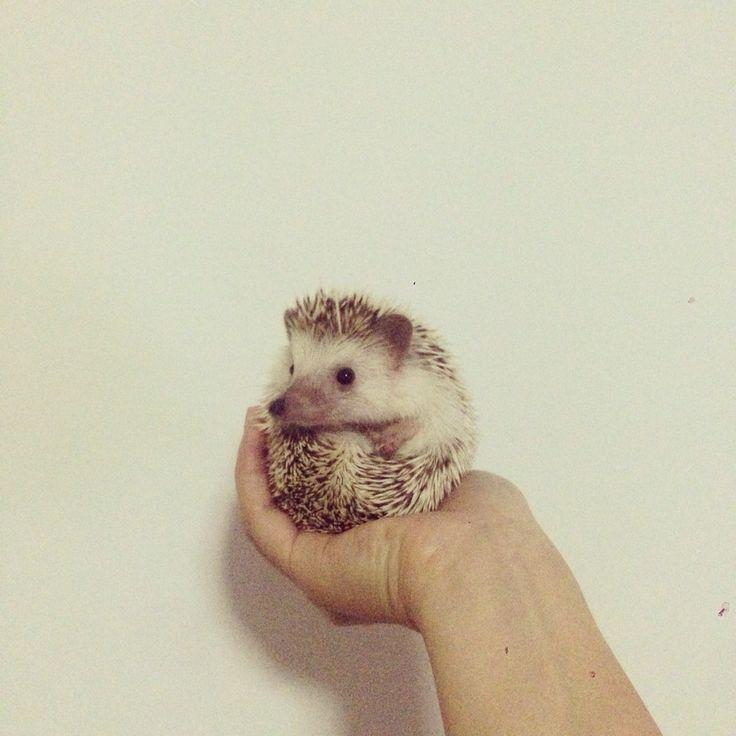 Can i ask u something? #pet #hedgie #hedgehog