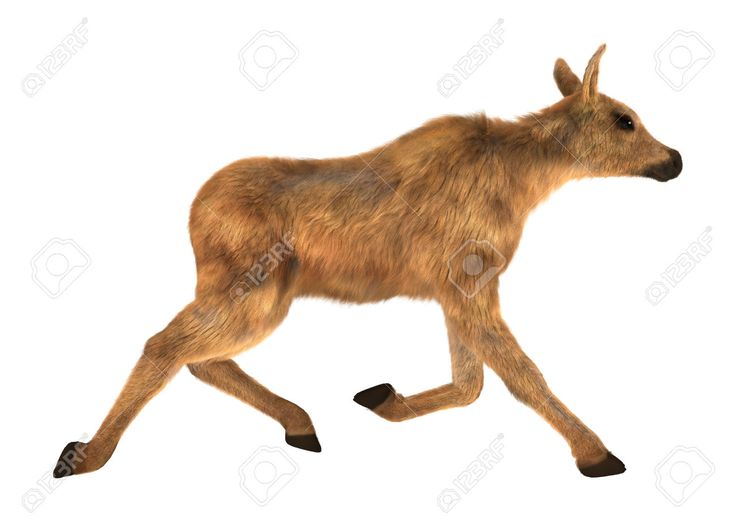 Running Elk Stock Photos Images, Royalty Free Running Elk Images ...