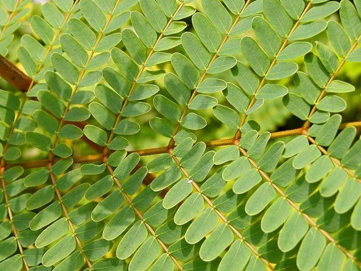 Nappipellea, nappisaniainen (Pellaea rotundifolia)