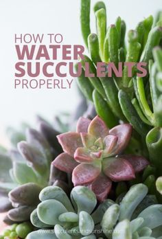 How to Water Succulent Plants | Succulents and Sunshine