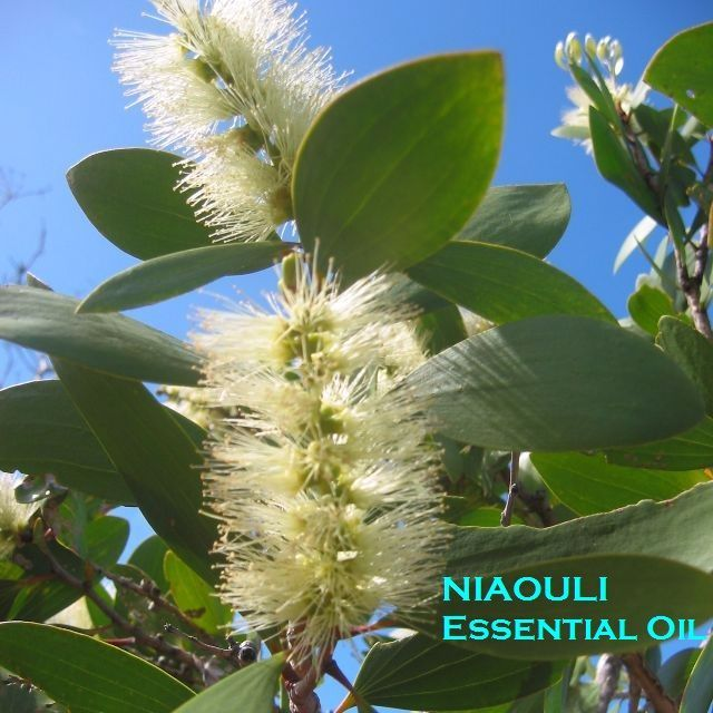 E/O: Niaouli Essential Oil (100% Pure, Grade 2 Non-organic) - 10ml
