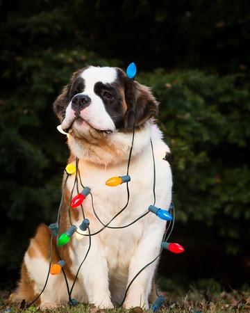 Christmas lit St. Bernard. Christmas cards for this year?