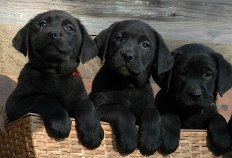 cute black lab puppies I'll take all three!!!!  love them
