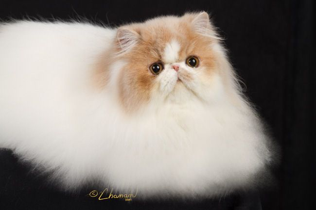 Persian Cat Utah        ― utah persian rescue ― adoptions ― rescueme.org, Persian cats can make good pets in utah if they match your iifestyie. persian cats are elegant extremely fluffy long haired cats. persians tend to be very laid back. Persian cats persian kittens and persian cat...