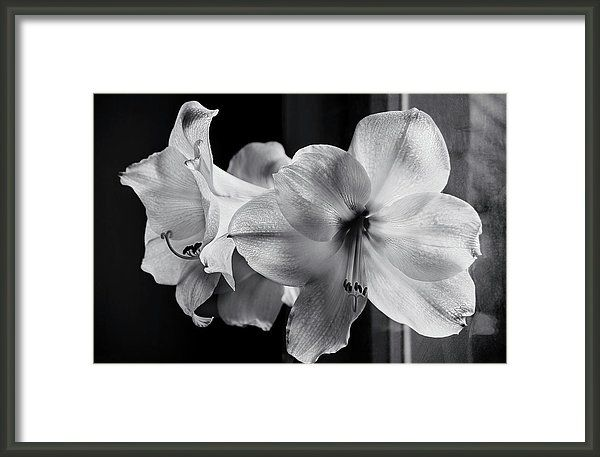 Amaryllis Near The Window By Irina Safonova Framed Print featuring the photograph Amaryllis Near The Window by Irina Safonova#IrinaSafonova#Works #FineArtPhotography #HomeDecor#IrinaSafonovaFineArtPhotography #ArtForHome #FineArtPrints #HomeDecor  #Flora#Flower