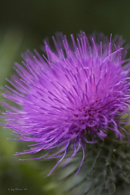 Purple Thistle (National flower of Scotland.)