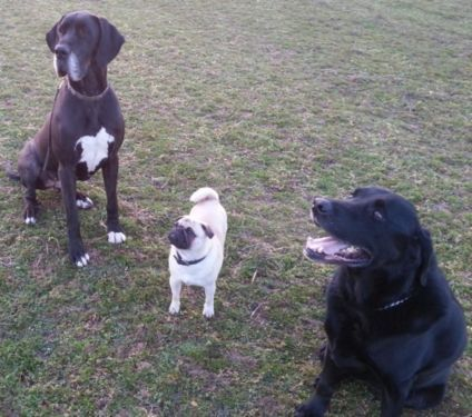 Deutsche Dogge, weiblich, mit Ahnentafel! in Bayern - Breitengüßbach | Doggen und Doggenwelpen kaufen | eBay Kleinanzeigen