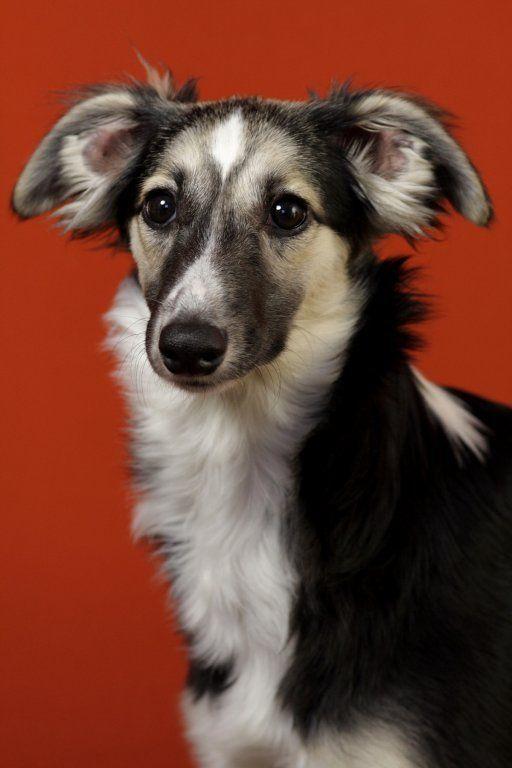 8 longhaired whippet dog