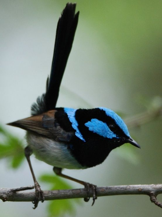 The superb fairy wren is often found in coastal areas around Victoria. This bird is a male. They are often seen with their 'harem' of females which are a soft brown and grey colour.