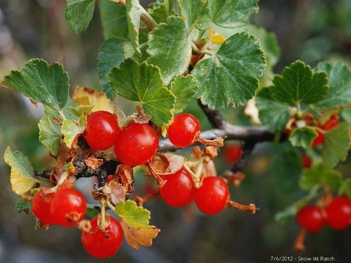Wax Currant Fruit