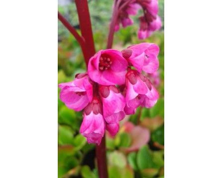 Bergenia sercolistna (Bergenia cordifolia) 'Rotblum' - Szkółka Bylin   KrainaBylin