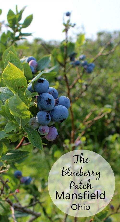 What is it about your hometown that leads you to overlook the treasures it holds? I have friends who have traveled up to two hours to visit The Blueberry Patch, and though it is maybe six minutes from my home, I had never visited. Until last week.