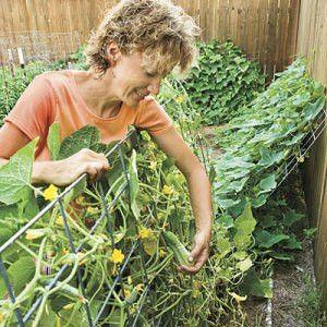 Lean cucumber trellis against the fence!