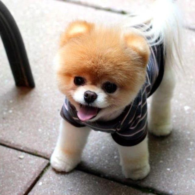 Teddy Bear Pomeranian Puppy