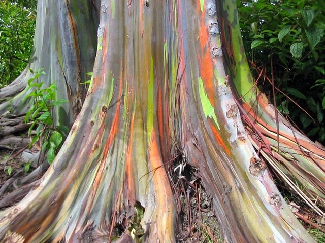 The Rainbow Eucalyptus is the only Eucalyptus species found naturally in the Northern Hemisphere, and is found in New Britain, New Guinea, Ceram, Sulawesi and Mindanao. It's unique multi-hued bark is the most distinctive feature of the tree. Patches of outer bark are shed annually at different times, showing a bright green inner bark. This then darkens and matures to give blue, purple, orange and then maroon tones.