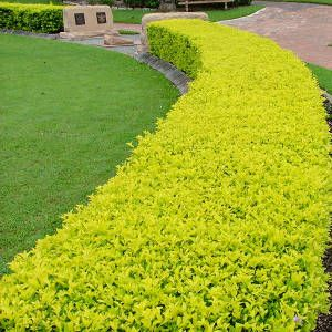 Hedging plant duranta repens 39 sheena gold 39 add colour to for Arbustos en jardines