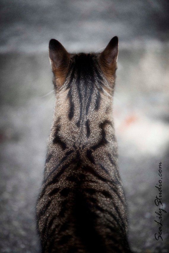 Henry's Head : cat photo meow animal pet photography tabby cat lover tan black tiger home decor 8×12