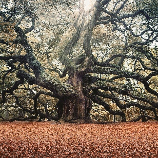 """The Angel Oak Tree in South Carolina is believed to be up to 1500 years old. There is enormous energy around the tree. Legend has it that many people during the time of slavery were killed around tree and buried underneath it. People declared that angels would appear at the oak. They now work to protect the tree."" 