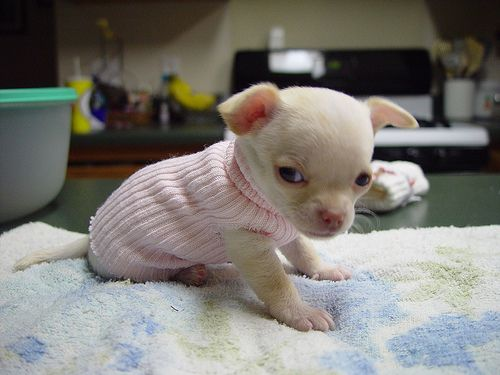chihuahua dogs | Chihuahua Puppy Pictures
