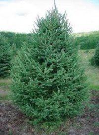 White Spruce shade/salt tolerant