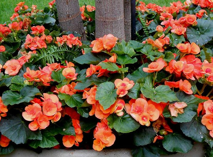 Begonia House Foyer : Best plants images on pinterest container garden