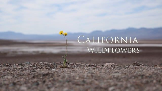 This is a collection of footage of California wildflowers I shot over several years.   www.travisroe.com