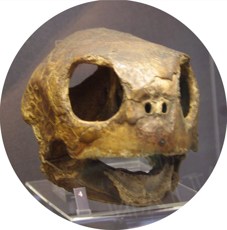 turtle skull from Pitt Rivers museum in Oxford