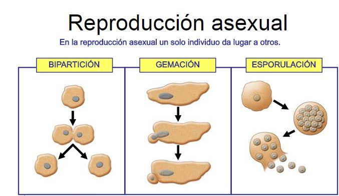 reproduccion.png (677×393)