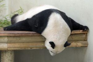 Edinburgh Zoo pandas top adoption list - The Scotsman