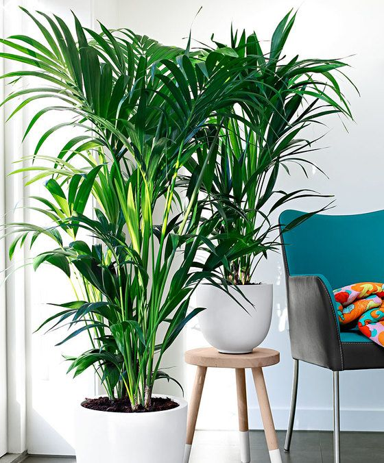 best 25 kentia palm ideas on pinterest philodendron monstera plants indoor and monstera. Black Bedroom Furniture Sets. Home Design Ideas