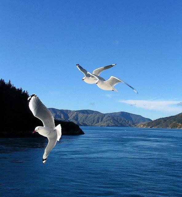 Marlborough Sound Gulls by Hayley Boff Photography, via Flickr