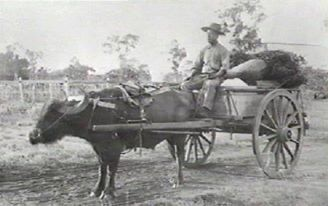 A Chinese woodcarter sitting on a dray drawn by a buffalo, Palmerston, NT.year unknown.