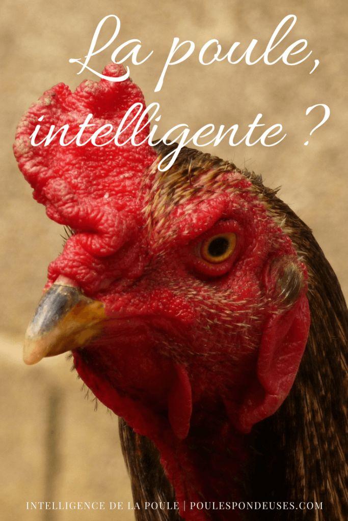 Une poule est-elle intelligente | Poule | Poule pondeuse ...