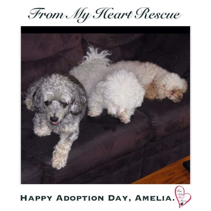 #Please ❤️+ #Pin #FromMyHeartRescue #RescueWithoutBorders #SavingOneDogAtaTime ~ #Happy #Adoption #Amelia #aka #Amy  *Thank you❤️ *Info, Foster, Adoption, PayPal & e-transfer: frommyheartrescue@hotmail.com *Our Vets: Brock St. Animal Hospital/FMHR 905-430-2644 *Fundraising & Volunteering: FMHRfundraising@hotmail.com    *www.frommyheartrescue.com  *Find Us: Petfinder, FB, Twitter, Instagram, YouTube &