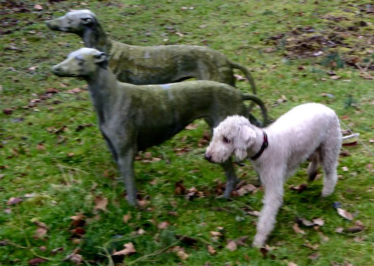 Bedlington and greyhounds