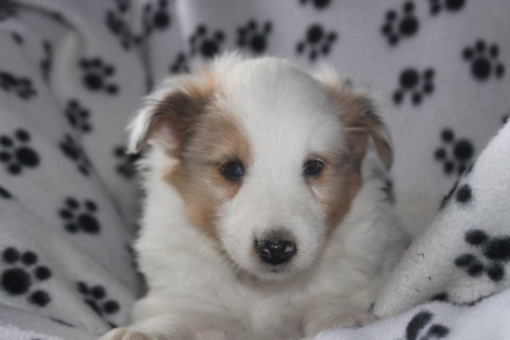 Sheltie Puppies For Sale - Here is a sheltie puppy posted at http://www.network34.com