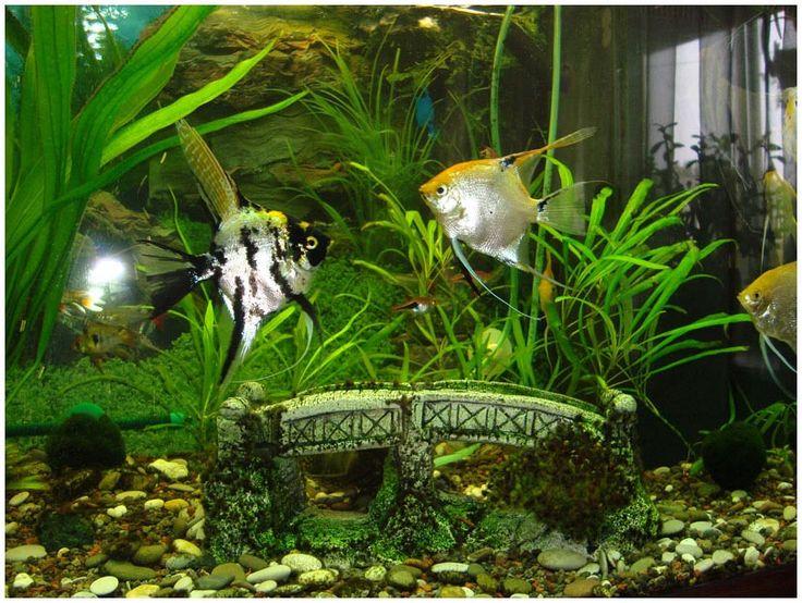17 best ideas about tropical freshwater fish on pinterest for Aquarium fish list