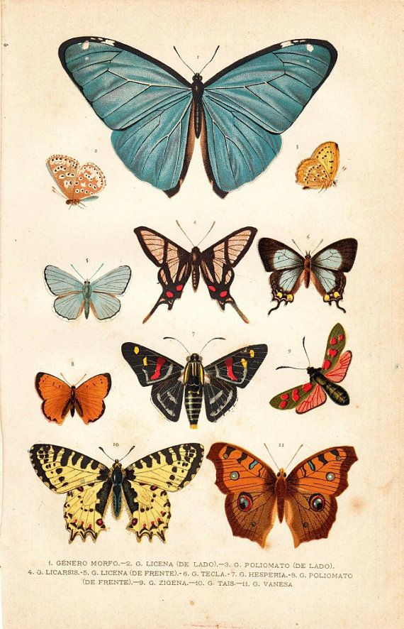 1891 Butterflies Antique Chromolithograph, Entomology. Great Poster idea to go with my insect collection!! :]